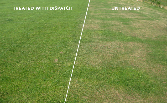 Turf treated with Dispatch, the Water Saving Soil Surfactant