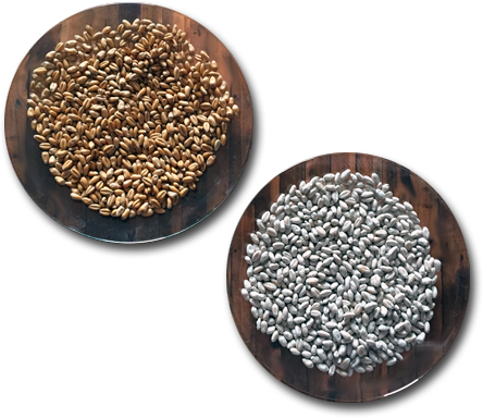 Untreated seeds vs seeds treated with Aquatrols Seed Enhancement Technology